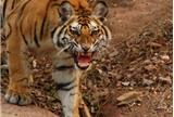 Tigers in Bandhavgarh National Park